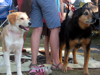 Two dogs watch attentively at the Jazz concert at Eagle Creek Park.