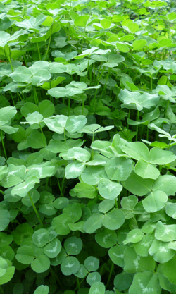 A close-up of the dense clover covering the Wishard Slow Food Garden at White River State Park.