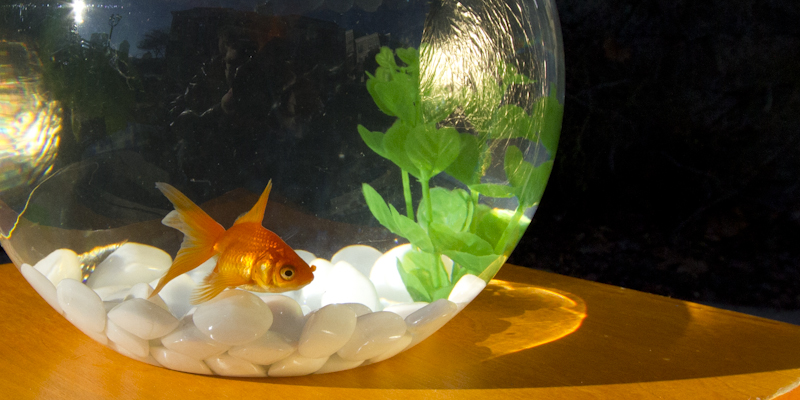 Senor Pesca strikes a pose in his picture perfect fish bowl.