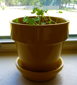 A humble parsley plant sitting in a bright yellow pot in my windowsill.