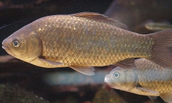 A plain silver carp that is the ancestor of the goldfish.
