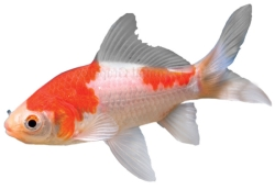 A plain comet goldfish with white and orange splotches.