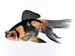 A sketch of a black and orange spotted goldfish.